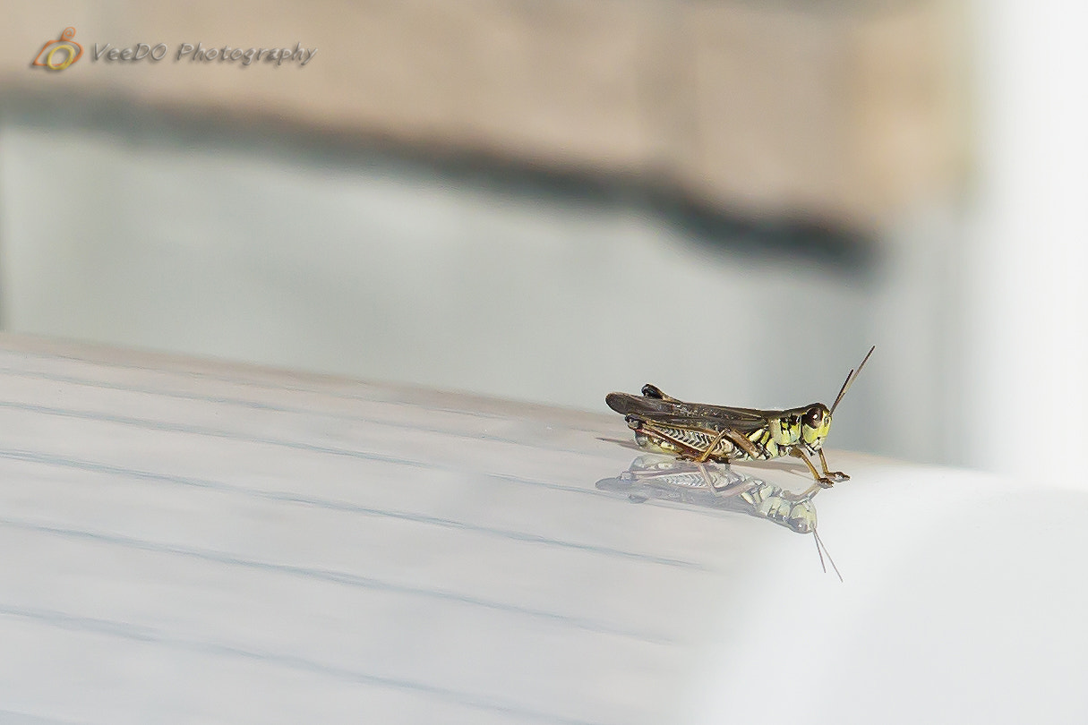 Photograph Grasshopper by Evelyn Chan on 500px