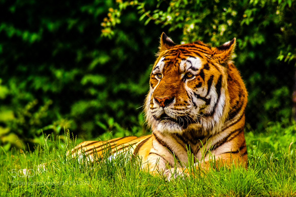 Photograph Tiger by Marcel Malleike on 500px