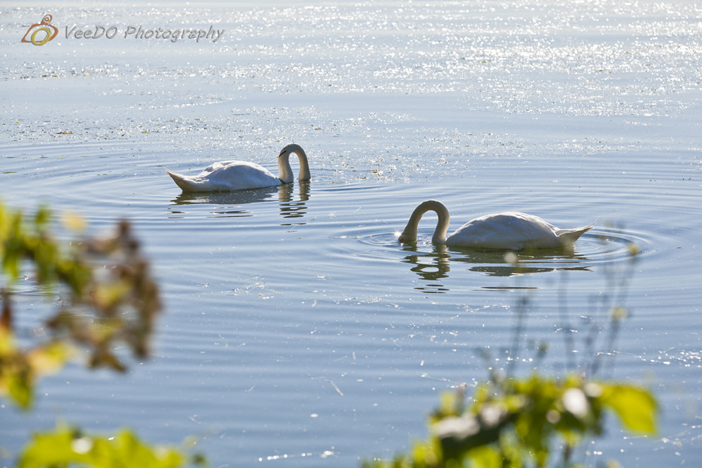 Photograph Swans by Evelyn Chan on 500px