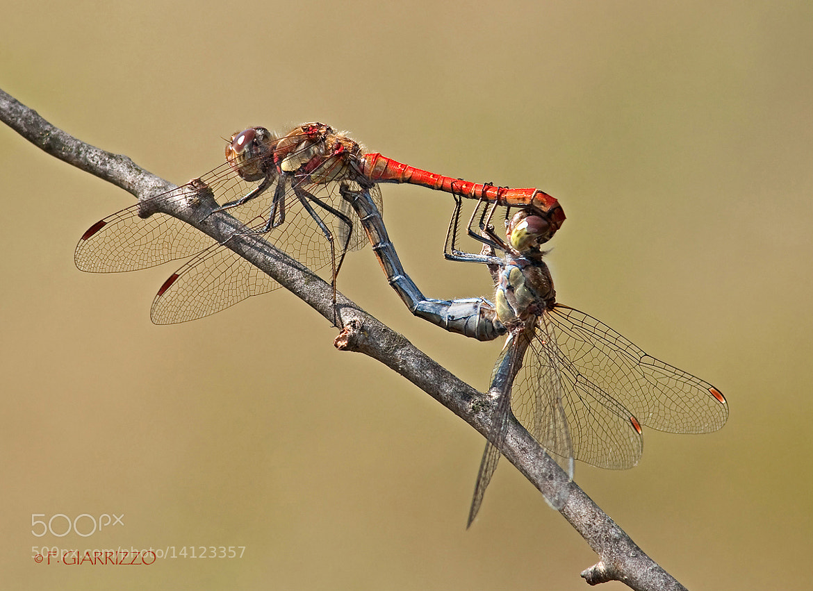 Photograph Mating dragonflies by Fabio Giarrizzo on 500px