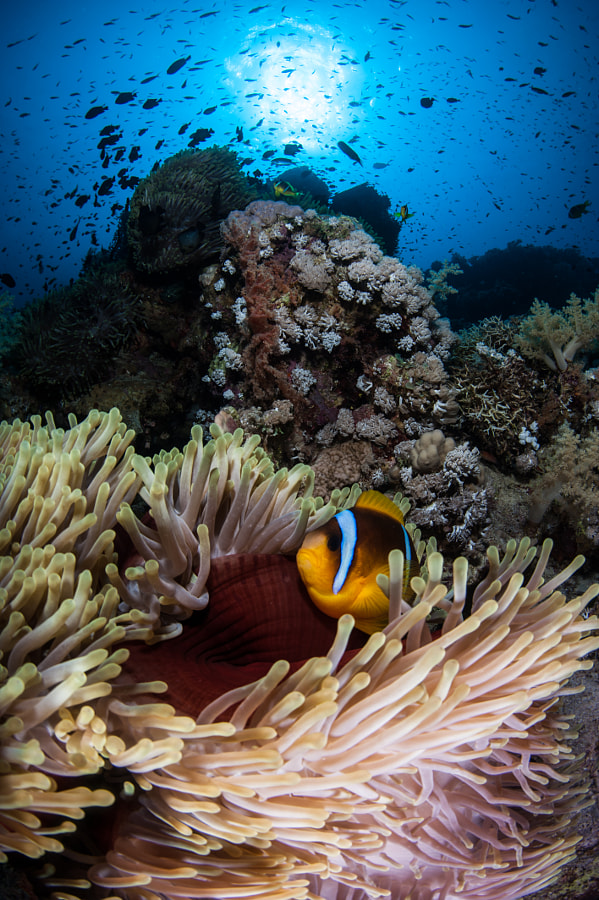 Clown Fish and Anemone #4 in Red Sea