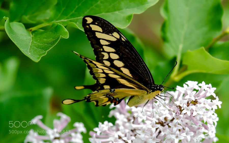 Photograph Giant Swallowtail Butterfly by Chris Toombes on 500px