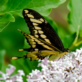 Giant Swallowtail Butterfly by Chris Toombes (muchmor)) on 500px.com