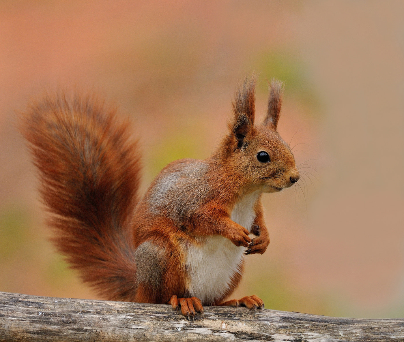 Photograph Squirrel by Ronnie Bergström on 500px