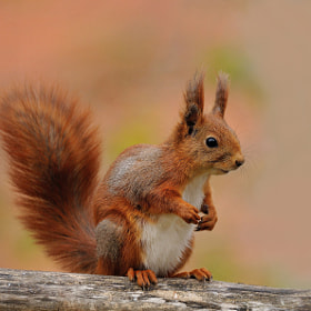 Squirrel by Ronnie Bergström (RonnieBergstrm)) on 500px.com