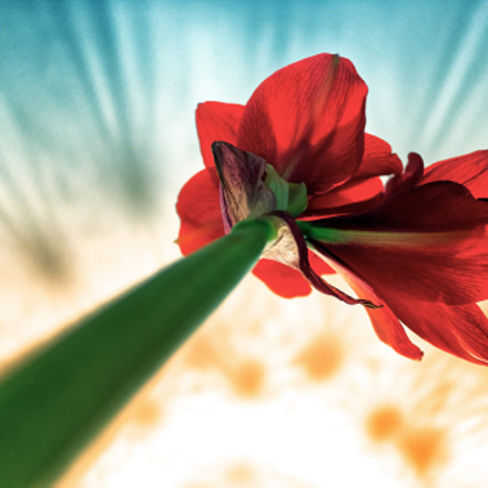 Red Amaryllis, Canon EOS M3, Canon EF 135mm f/2.8 Soft