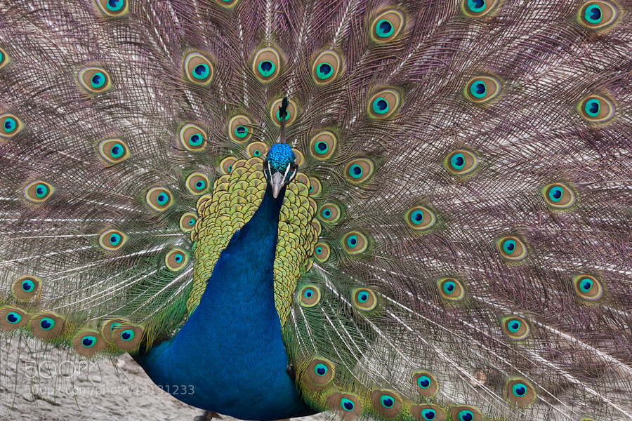 Photograph Peacock by Nicholas Robinson on 500px