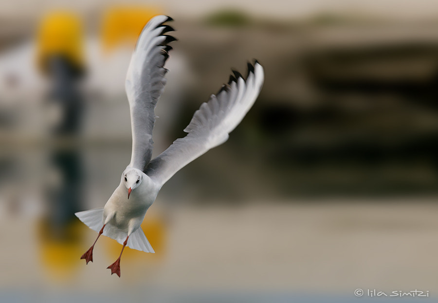 Photograph Black-headed Gull by Lila Simitzi on 500px