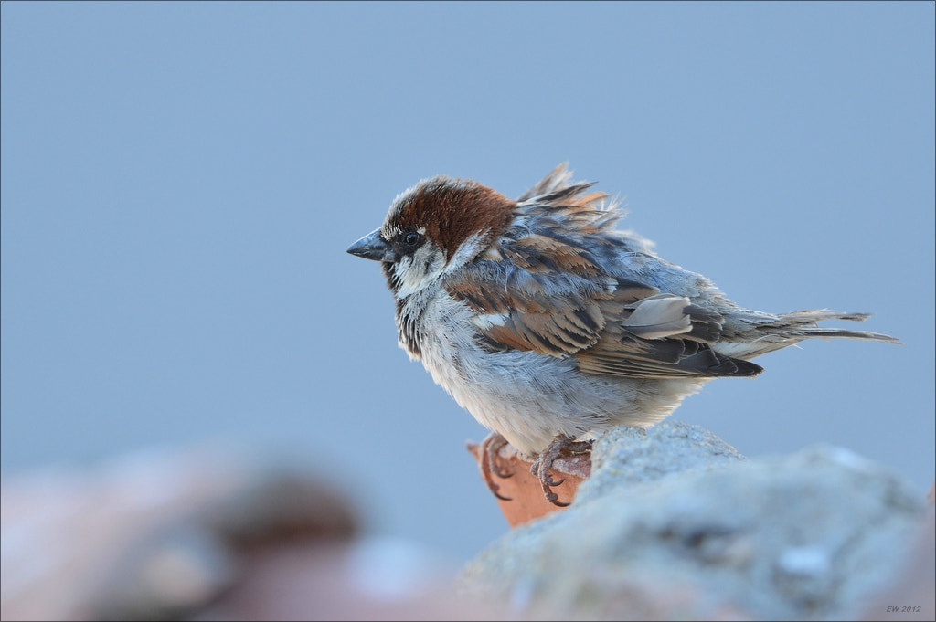 Photograph Sparrow by Elmar Weiss on 500px