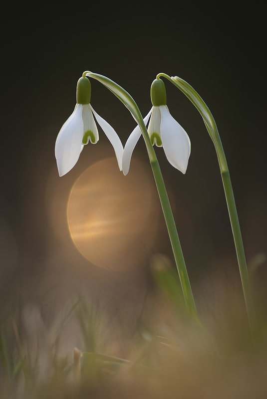Photograph snowdrops by CHRISTIAN GUERDER on 500px