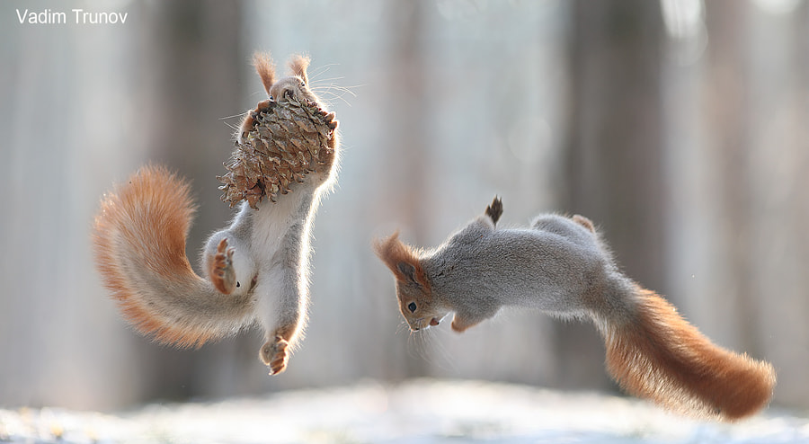 Fighting for a pine cone by Vadim Trunov on 500px.com