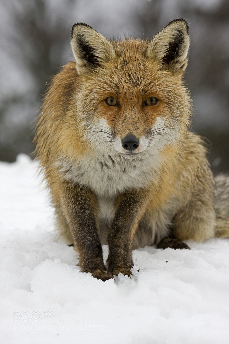 Photograph renard roux  by Michael Martinez on 500px