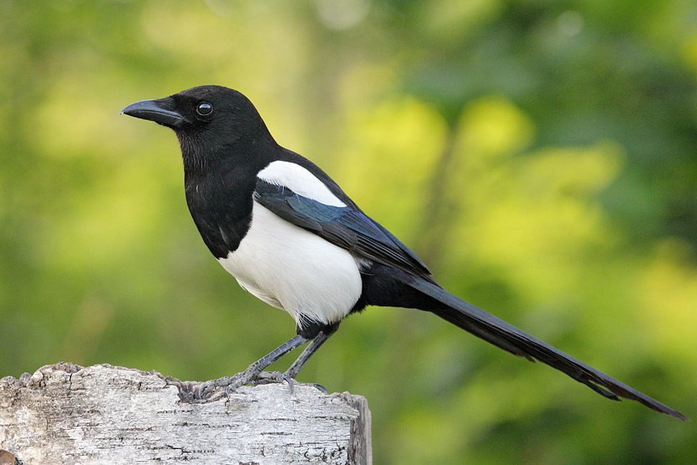 Photograph Magpie by Ascanio Tealdi on 500px