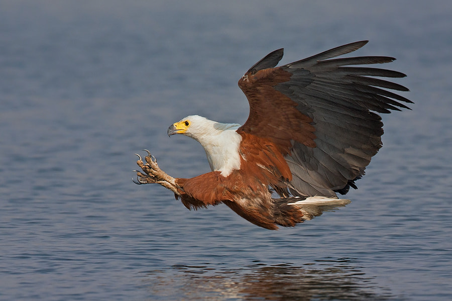 Photograph African Fish Eagle by Francois Retief on 500px