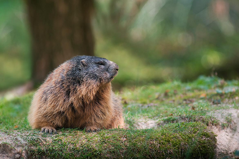 Photograph Alpine Marmot by Rob Janné on 500px