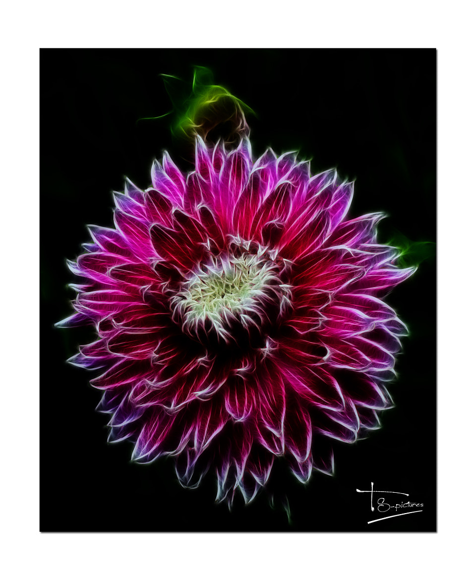 Photograph Dahlia fractalius by Tanja  Schiese on 500px