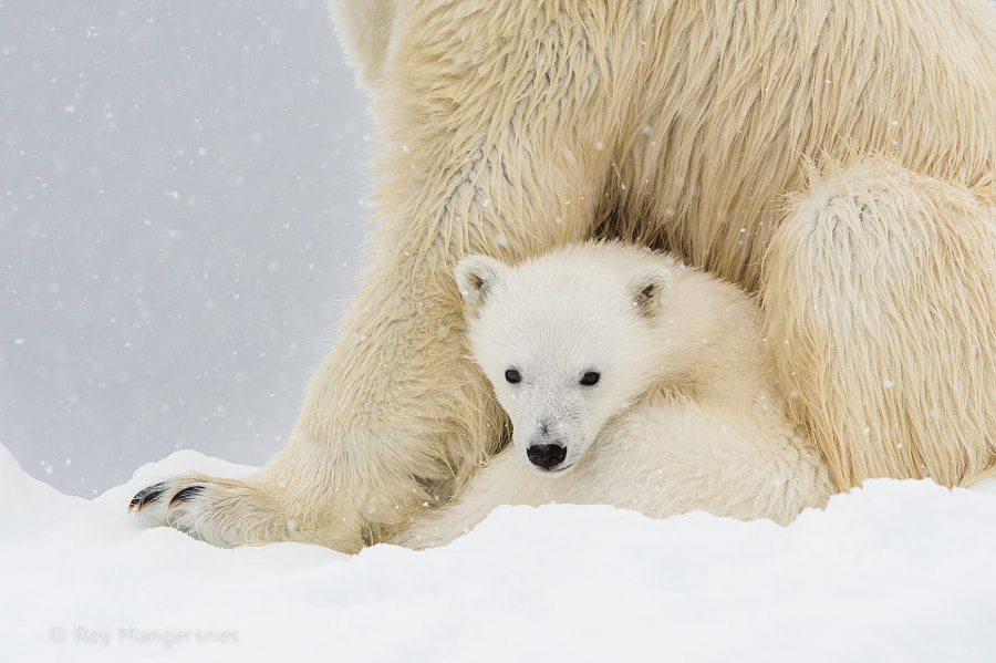 Polar bear cub by Roy Mangersnes on 500px.com