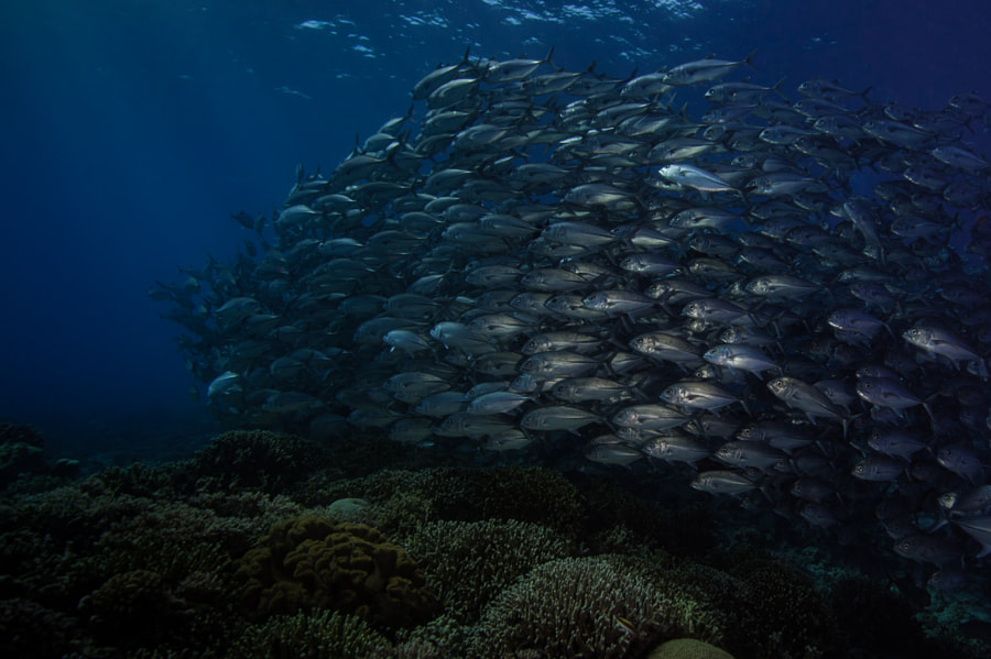 School of Jacks and a Reef at Tubbataha Reef in Philippines