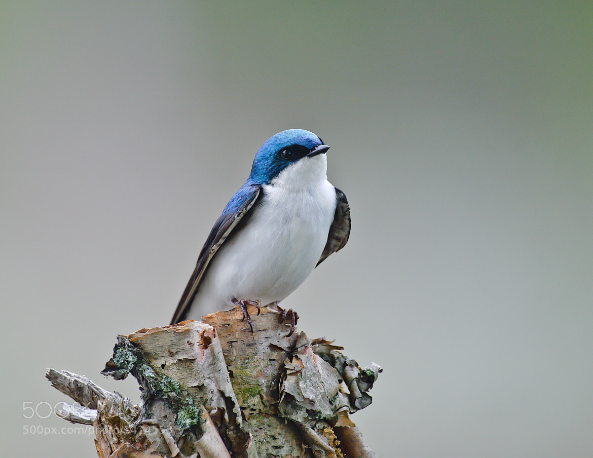 Photograph Tree Swallow by Steven Kersting on 500px