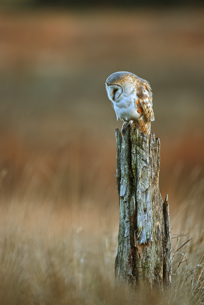 Photograph Barn Owl Tyto alba by Nigel  Pye on 500px