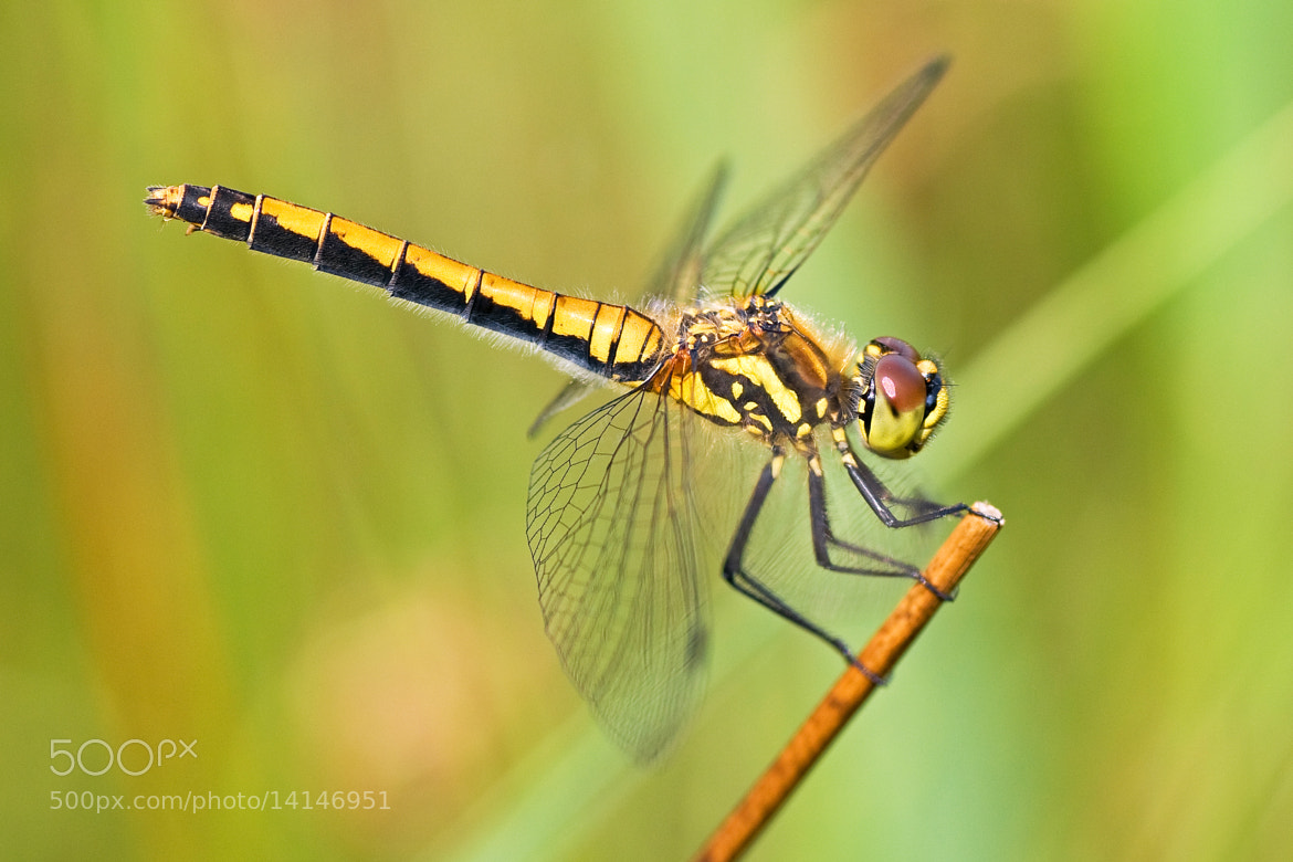 Photograph Black darter II by Bertus van Rooijen on 500px