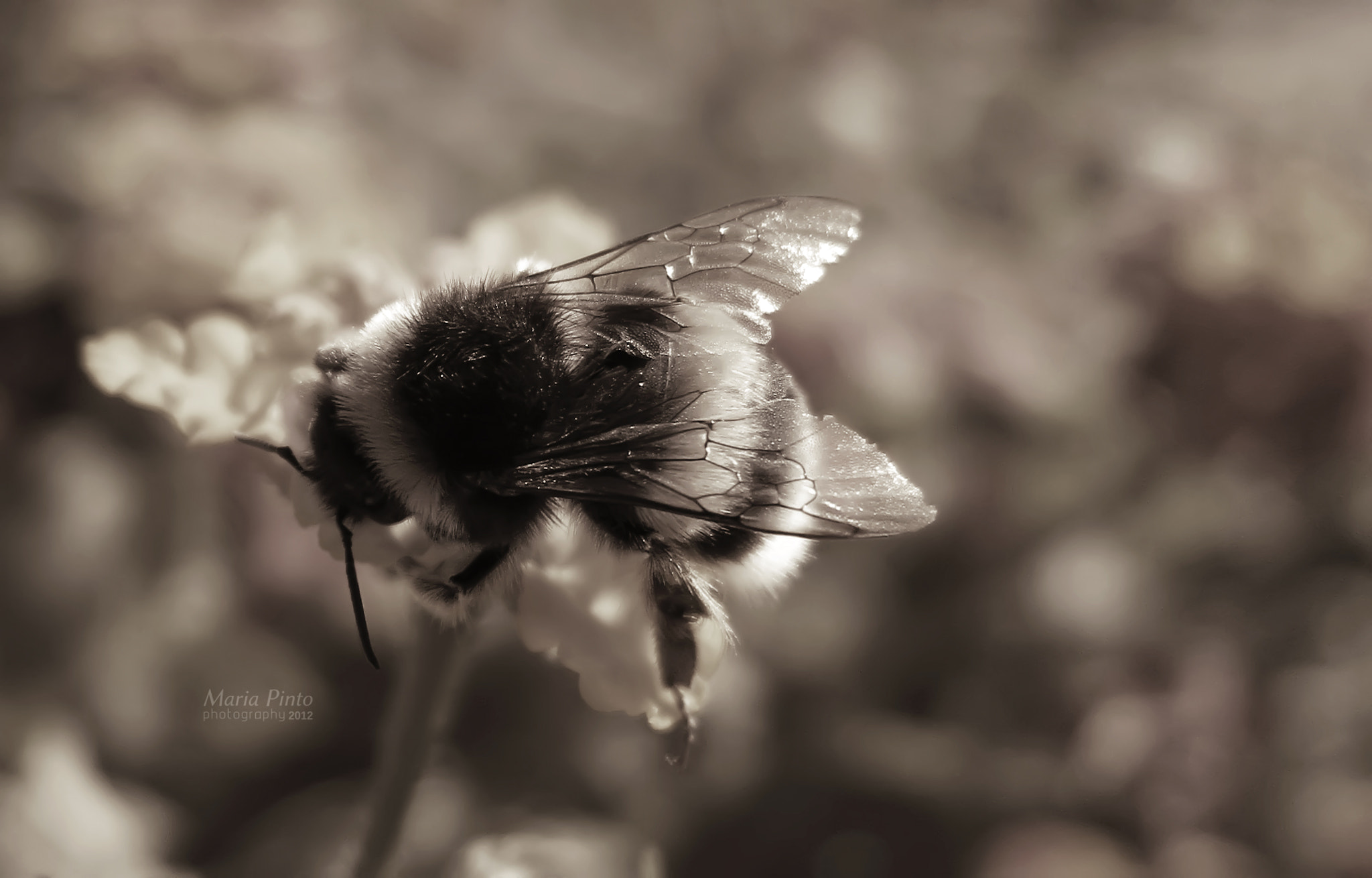 Photograph Bumblebee VI by Maria Pinto on 500px