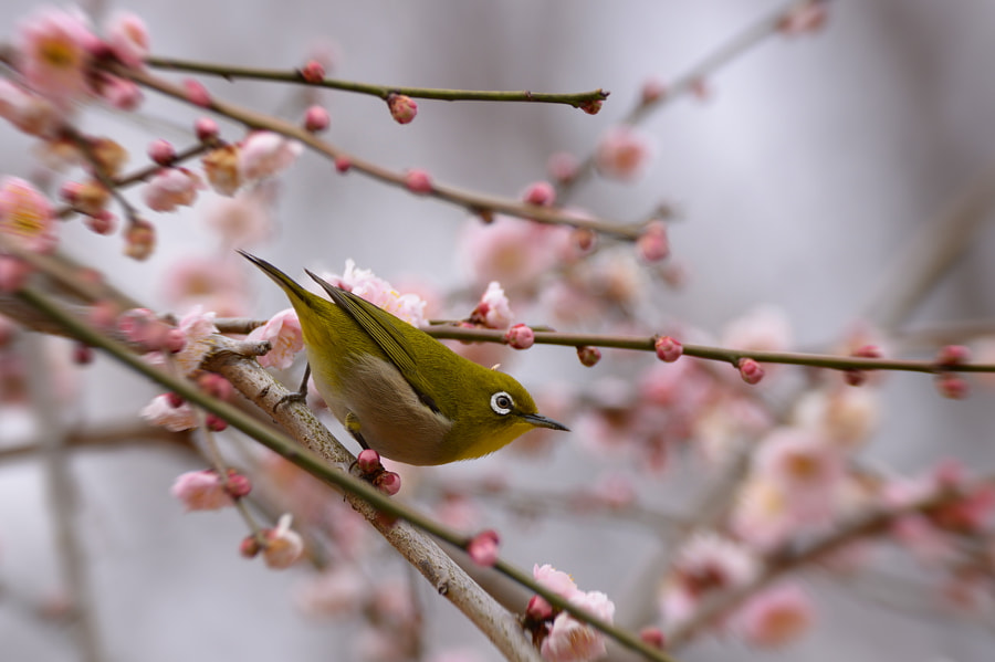 Japanese White-eye by Yokai Catchlight on 500px.com