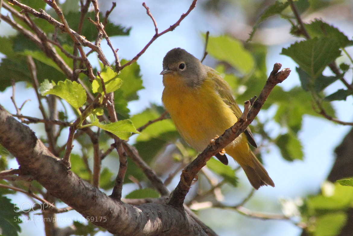 Photograph Nashville Warbler by Jessica Mounts on 500px