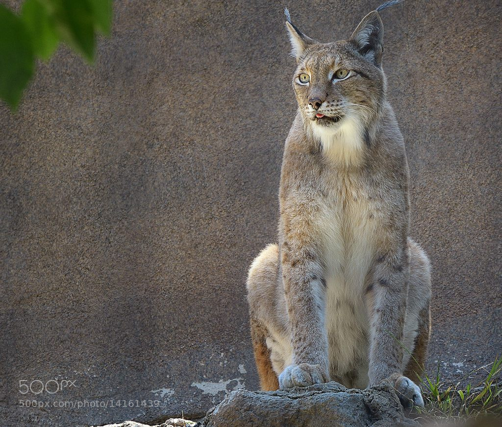 Photograph Lynx by Curtis Wilson on 500px