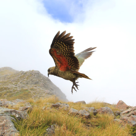 Kea parrot take of
