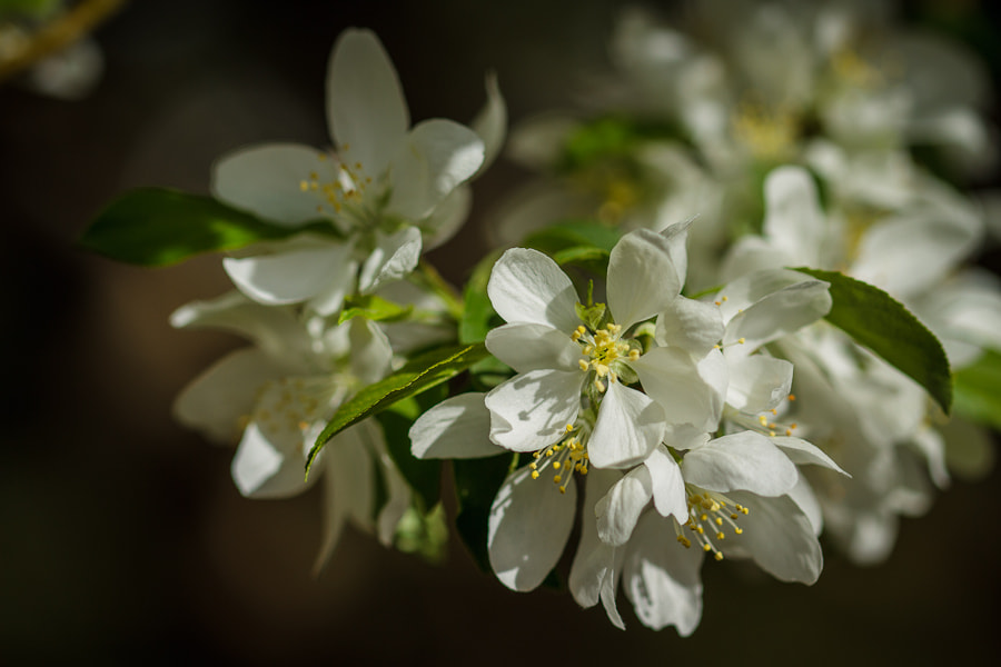 Photograph .: Apple Blossoms :. by Jon Rista on 500px