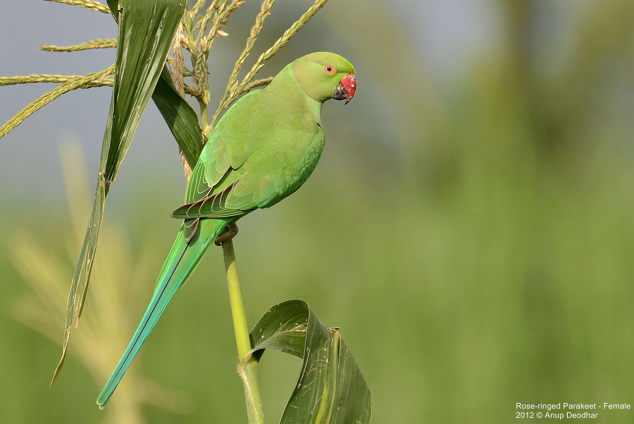 Photograph Rose-ringed Parakeet - Female by Anup Deodhar on 500px