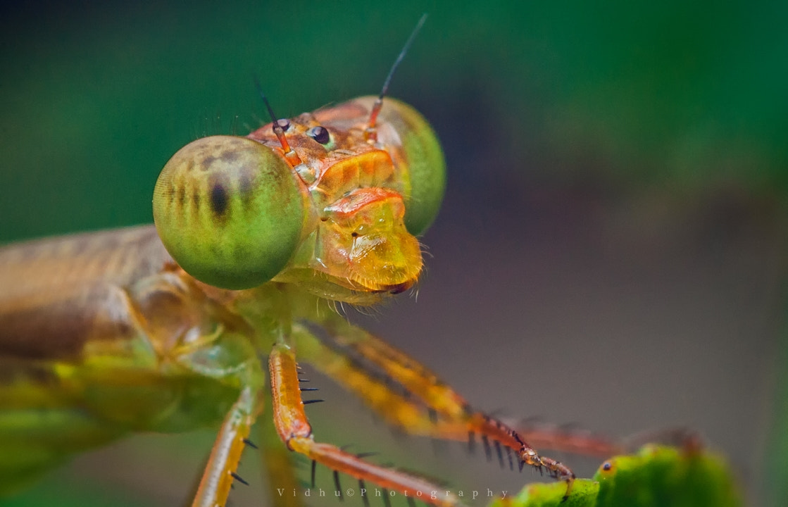 Photograph Damn-sel-fly  by Vidhu S on 500px