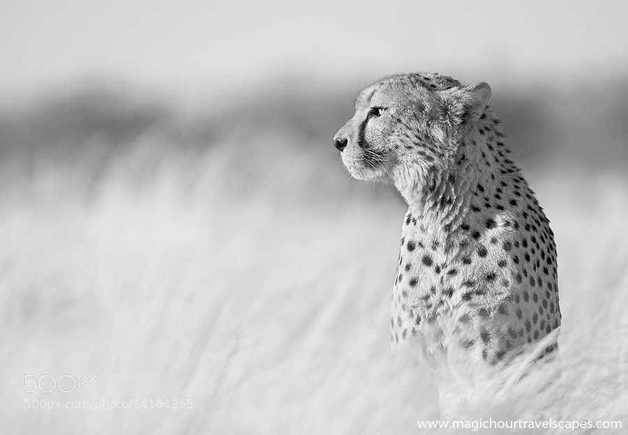 Photograph The Proud Cheetah by Kah Kit Yoong on 500px