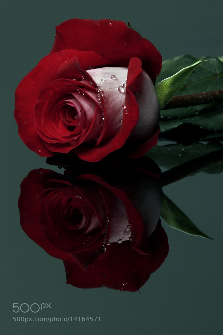 Photograph Red Rose with drops by Cristobal Garciaferro Rubio on 500px