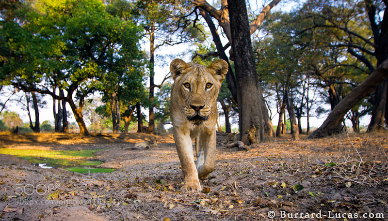 Photograph Forest Lion by Will Burrard-Lucas on 500px