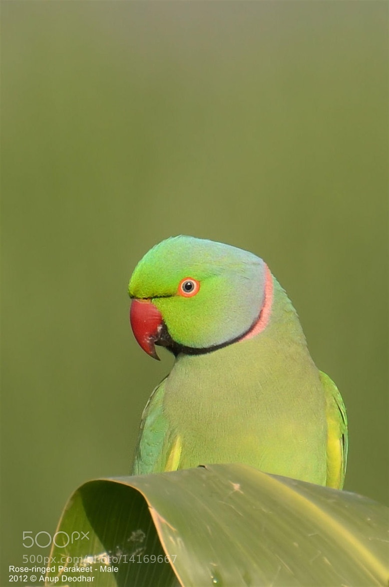 Photograph Rose-ringed Parakeet - Male by Anup Deodhar on 500px