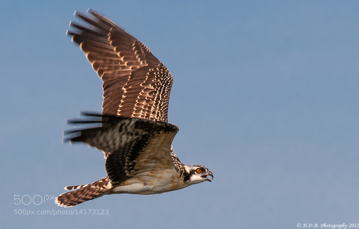 Photograph Osprey Chick (Male) by Harold Begun on 500px