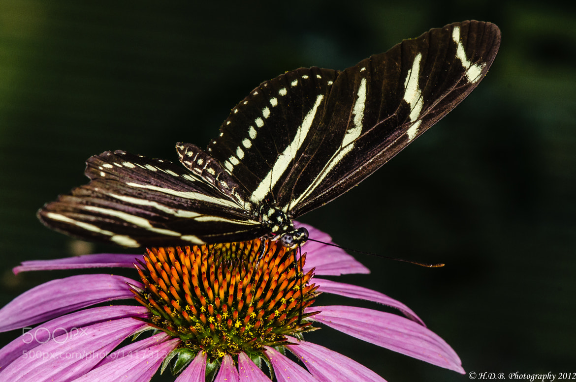 Photograph Zebra Swallowtail by Harold Begun on 500px