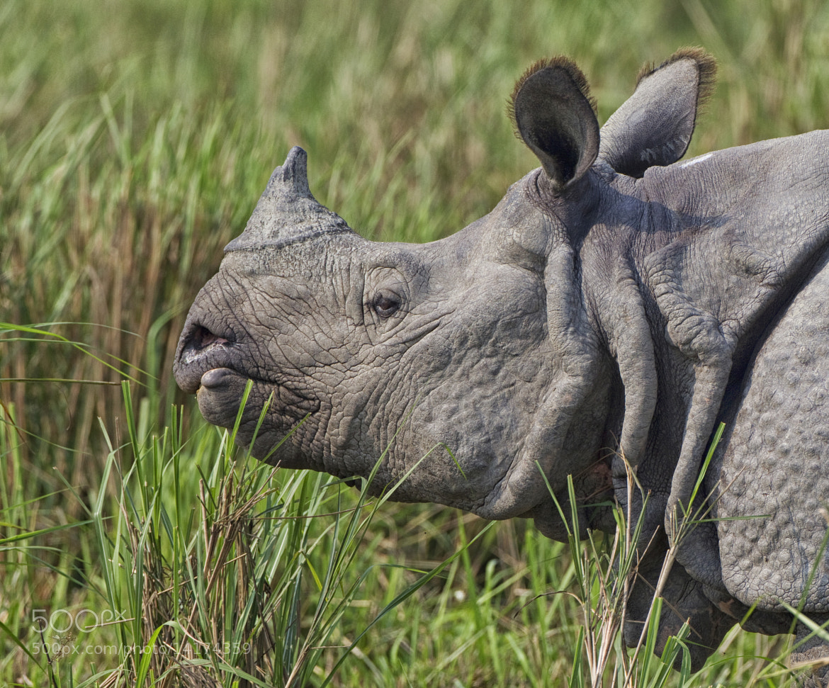 Photograph Asian One Horned Rhino by Ken Watkins on 500px