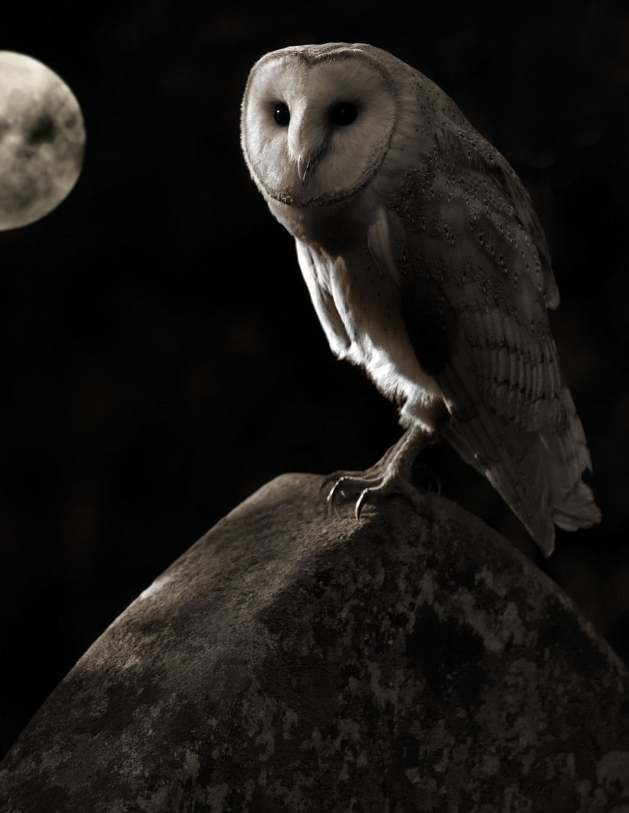 Photograph Owl by Moonlight by phil homer  LSINWP on 500px
