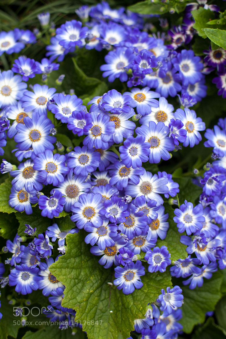 Photograph Blue Flowers by Brian Lai on 500px