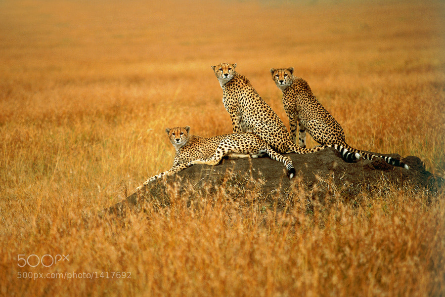 Photograph Cheetah 01 by catman / www.suhaderbent.com on 500px