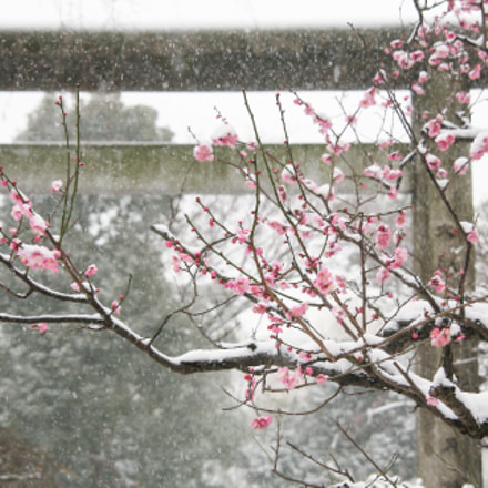 Ume Blossom in Snow, Canon EOS 5D, Tamron AF 28-300mm f/3.5-6.3 XR Di VC LD Aspherical [IF] Macro Model A20