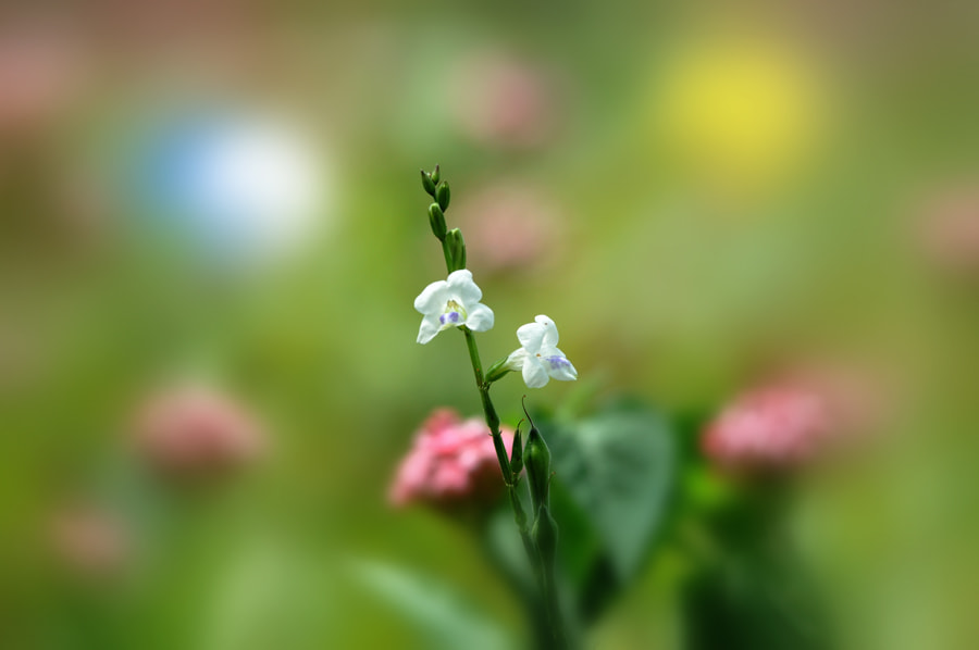 Photograph White Flower - 2 by Khoo Boo Chuan on 500px