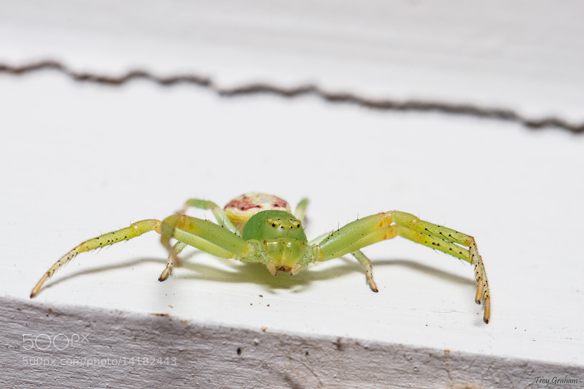 Photograph Green spider by Troy Graham on 500px