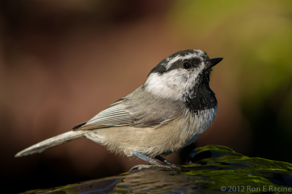 Photograph Mountain Chickadee by Ron E Racine on 500px