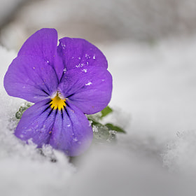 early violet @snow