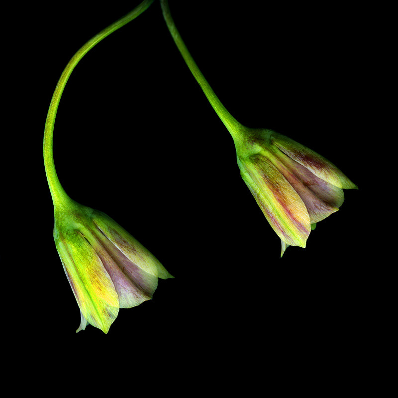 Photograph OF TWO ALLIUM FLOWERS THAT WANTED TO BE LITTLE LAMPSHADES? by Magda Indigo on 500px