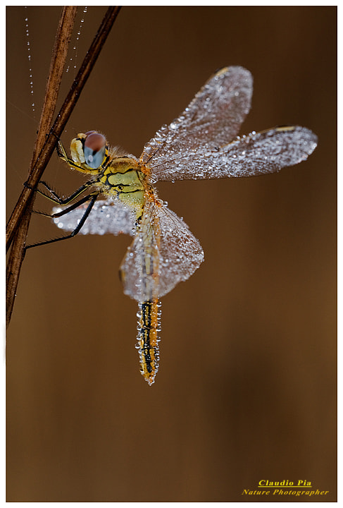 Photograph Sympetrum fonscolombii female by Claudio Pia on 500px